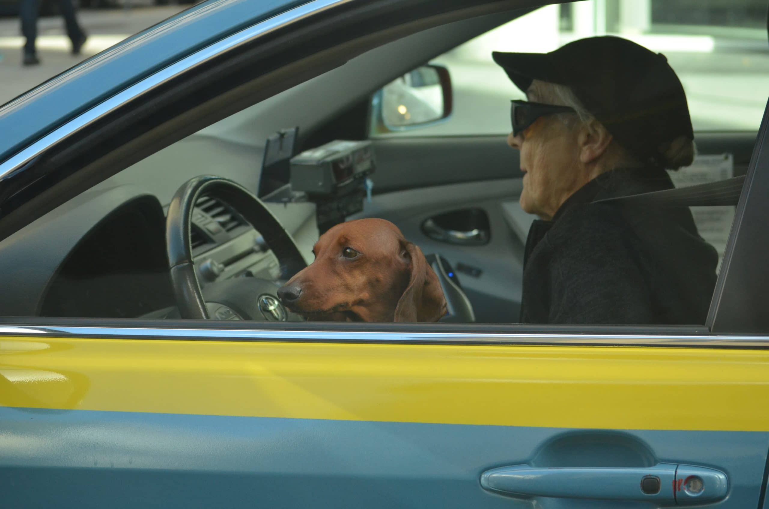 driver with dog and seatbelt on